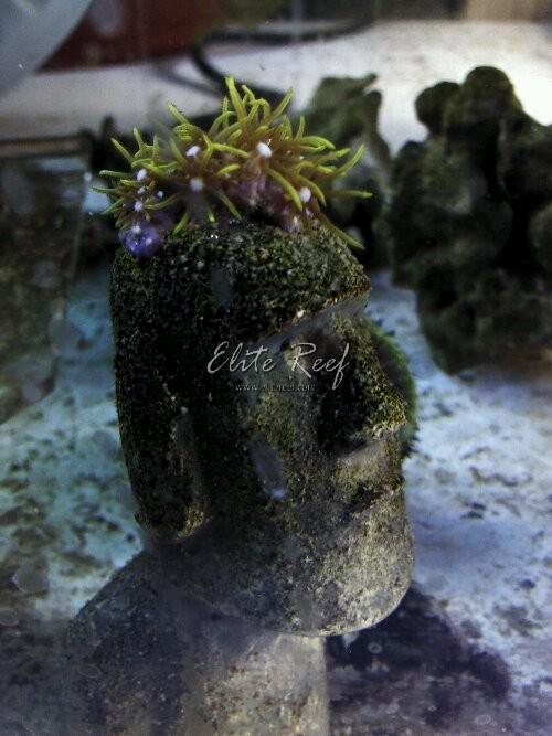 Tiki Man Green Star Polyps