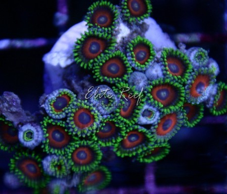 Red-and-Green-Zoanthids