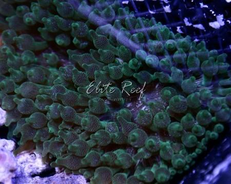 Green-Bubble-Tip-Anemones