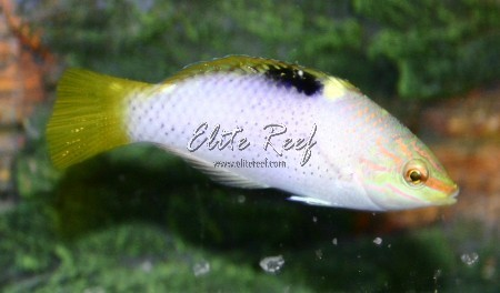 Marbled-Wrasse
