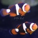 Onyx-Clownfish