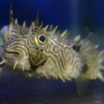 Spiny-Box-Puffer