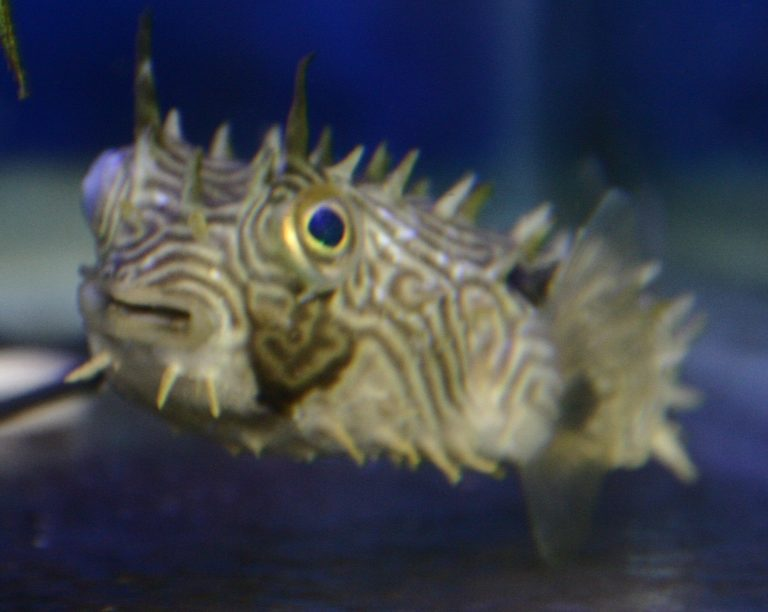 Spiny box puffer fish for A puffer fish