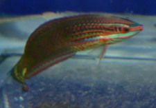 Xmas-Wrasse